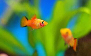 akváriumi halak kezdőknek